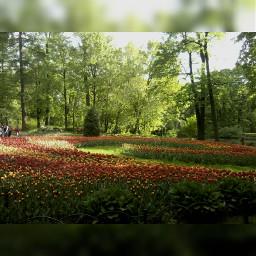 tulips saintpetersburg