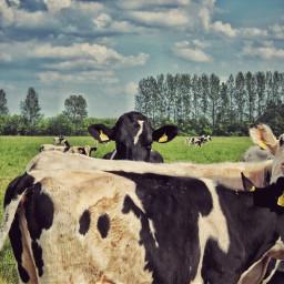 petsandanimals emotions nature cow nosey