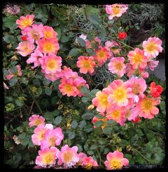 oregon roses portland portlandoregon bordermask
