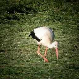 nature stork birds wildlife photography