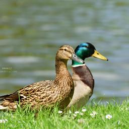 duck petsandanimals animals birds cute