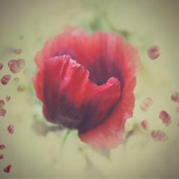 poppy garden red edited flower
