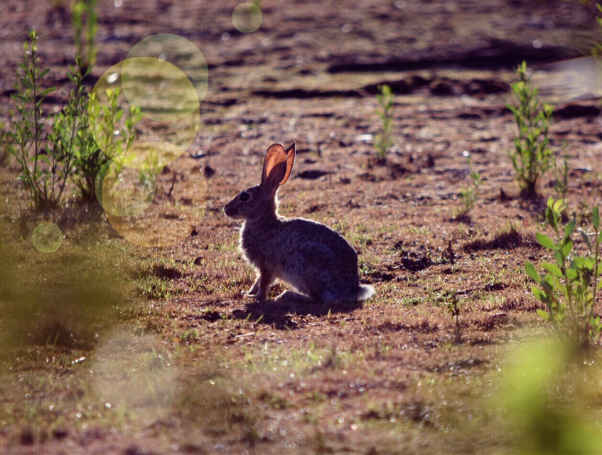 Oops, sorry I am uploading it second time, I accidentally deleted it. #rabbit #wildlife