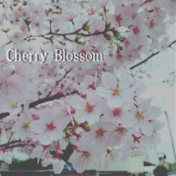 japan word add cherryblossoms2016 cherryblossom freetoedit