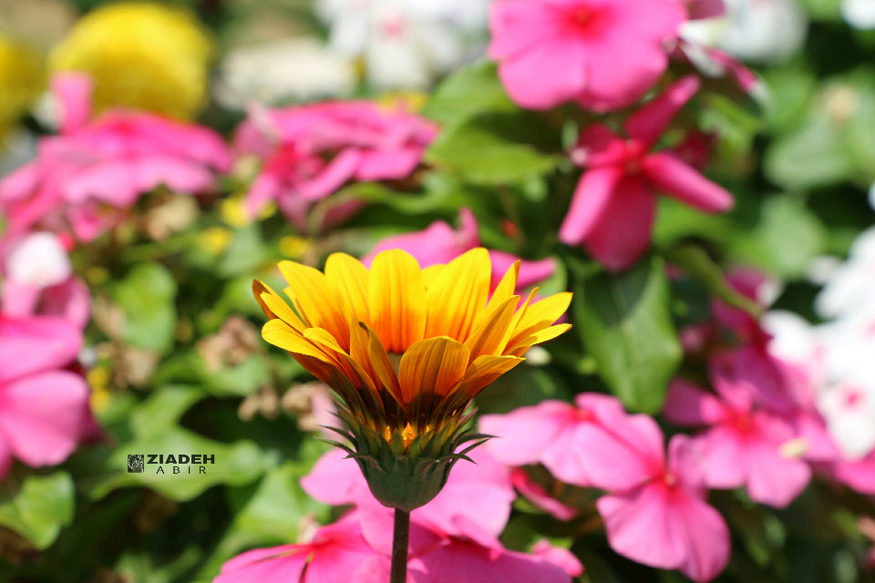 #good #summer  #morning #flower #pink #yellow #colorful #colorsplash #photography #love #nature #greenery