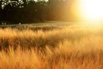 freetoedit goldenhour sunlight field summer
