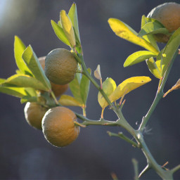 freetoedit southafrica oranges
