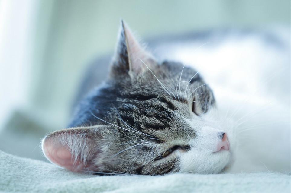 #wppCatEars #cat #cute #animals #petsandanimals #closeup #head #ears #sleeping #photography