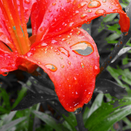 colorful flower nature rain red