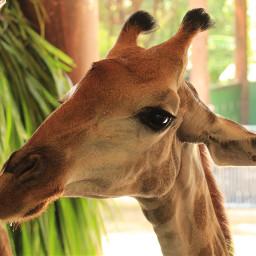 giraffe cute freetoedit