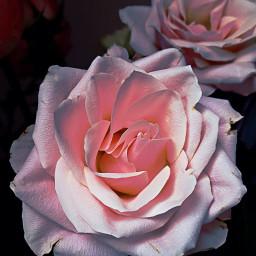 wppfloralcanvas pink rose roses petals freetoedit