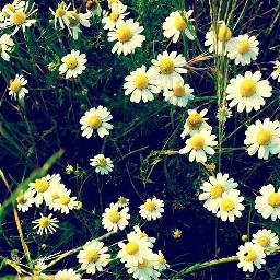 flowers nature dream white yellow