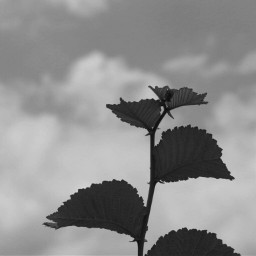 blackandwhitenature nettesdailyinspiration photography nature leafs