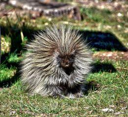 nature landscape porcupine freetoedit